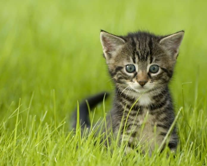 kitten_canstockphoto703960 1000x800