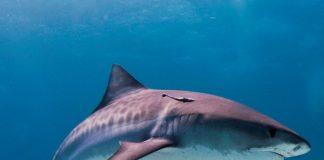 tiger shark_wikipedia 1000x800
